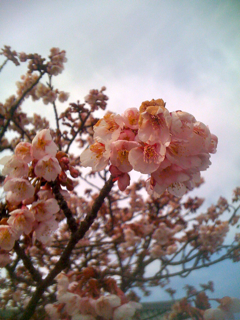 0205sakura2.jpg
