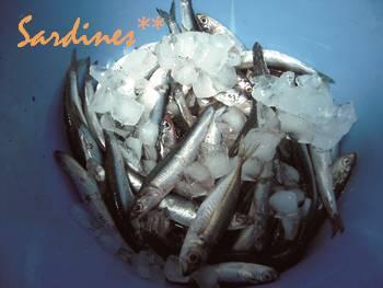 オイルサーディン1