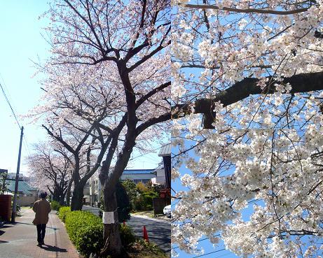 水道道の桜