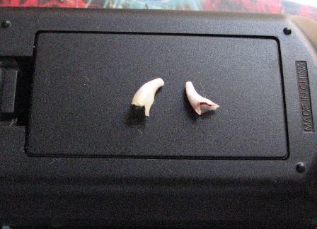 めぃとラウの犬歯
