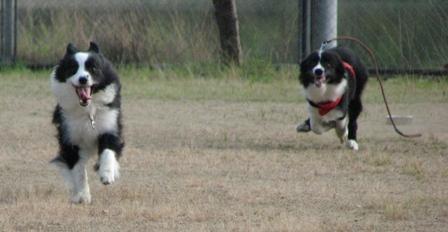 球(フリスビー)拾いにいくイヌ