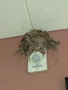 ツバメの巣。。。