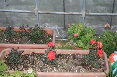 赤い花バラ