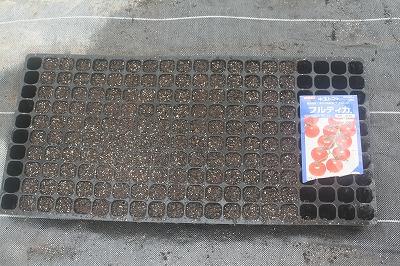 トマト播種