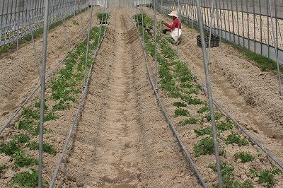 トマト定植1