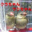 Pht0110桜文鳥