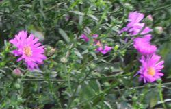 002小菊