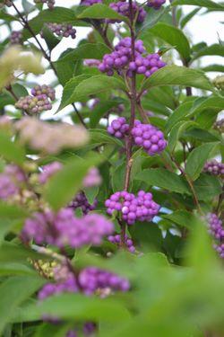 003小紫