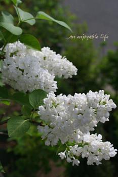 lilac_w01.jpg