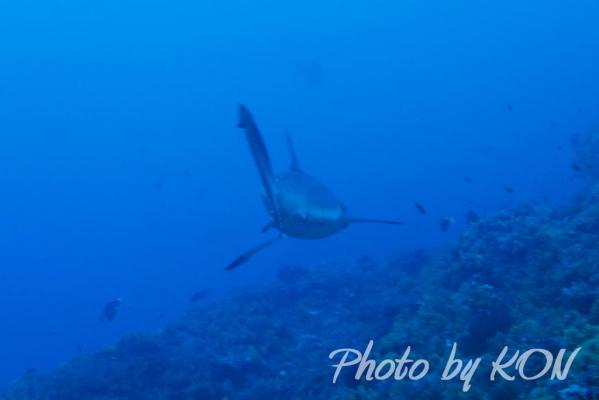 オグロメジロザメ(与那国島)