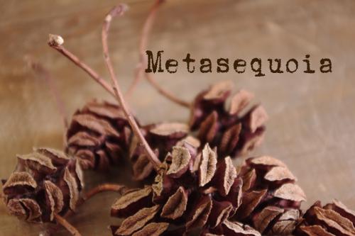 メタセコイア10個パック