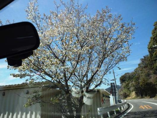 3月28日 通勤路 桜