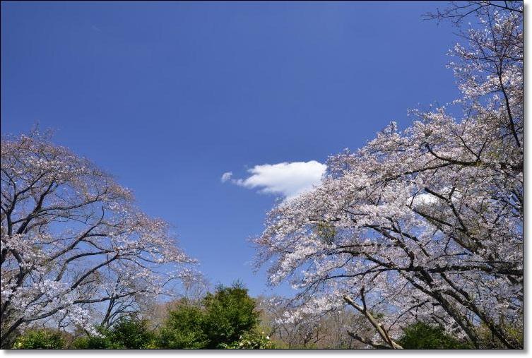 2012-4せれぼとお花見48