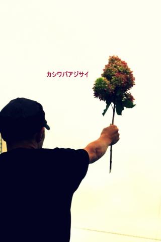 めずらしい紫陽花 カシワバアジサイ