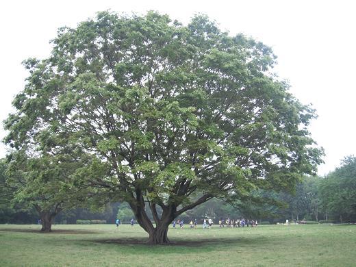 110507-09big tree