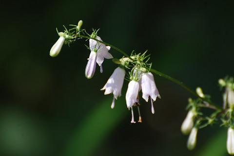 ツリガネニンジンの花が