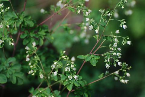 マツカゼソウの白い花は