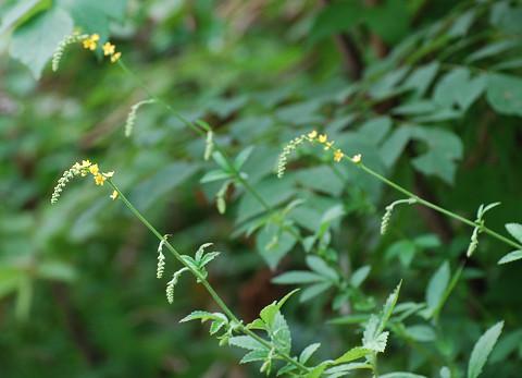 キンミズヒキの花がきれい