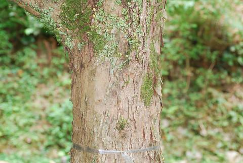 ウリハダカエデの老木の木肌