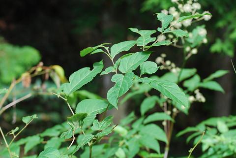 ウドの変形した葉