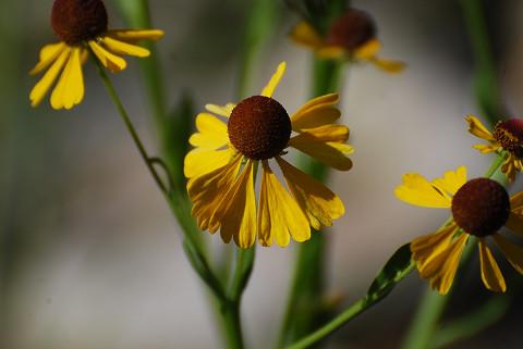 サワオグルマの花2