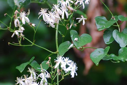 スイカズラツル植物