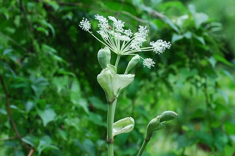 シシウドのあ白い花が