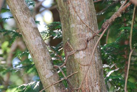 サワシバの木肌