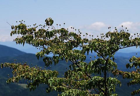 展望台のヤマボウシ