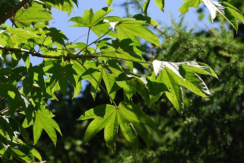 ハウチワカエデの葉は