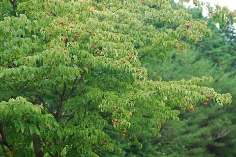 ヤマボウシに赤い実が