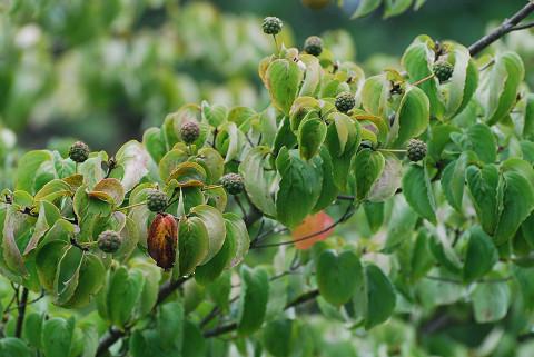 ヤマボウシの緑の実