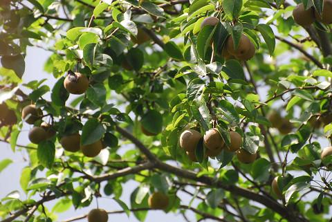ズミの実が小梨に似る