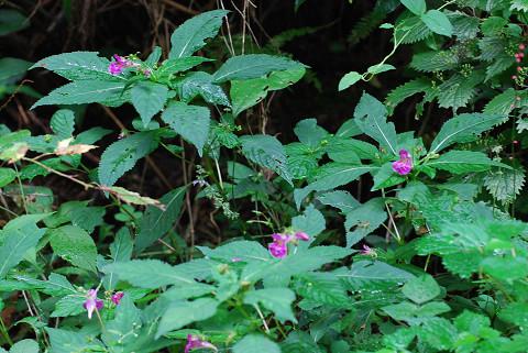 ツリフネソウに赤い花