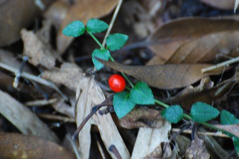 ツルアリドウシの赤い実が