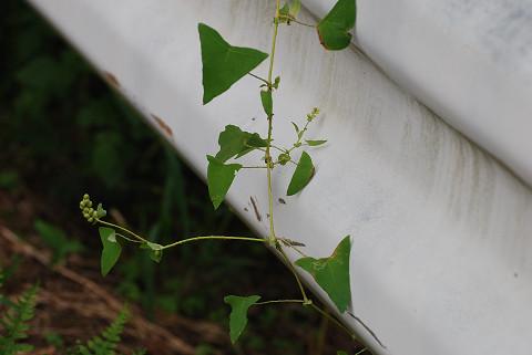 イシミカワの三角の葉
