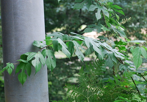 変形した葉のヒメコウゾ
