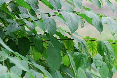 正常の葉のヒメコウゾ