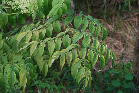2回羽状複葉のタラノキ