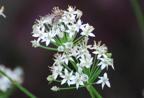 ニラの白い花が