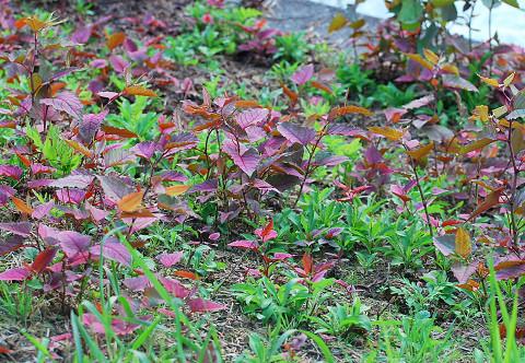 土手にイタドリの赤い葉が