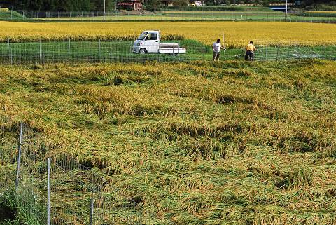 台風の被害で倒れた稲