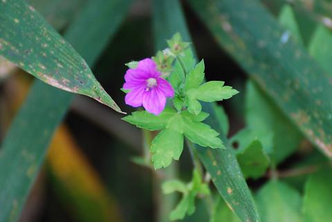 赤いゲンノウショウコの花