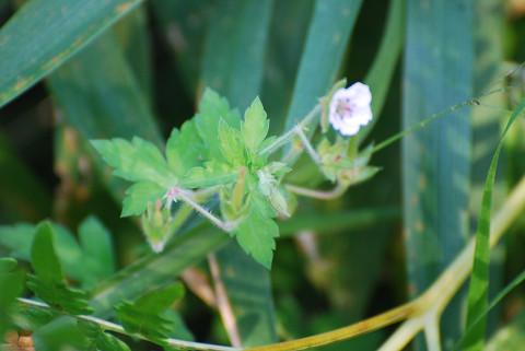 白いゲンノウショウコの花
