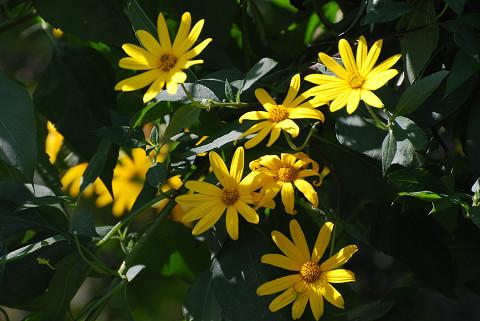 庭のキクイモの花