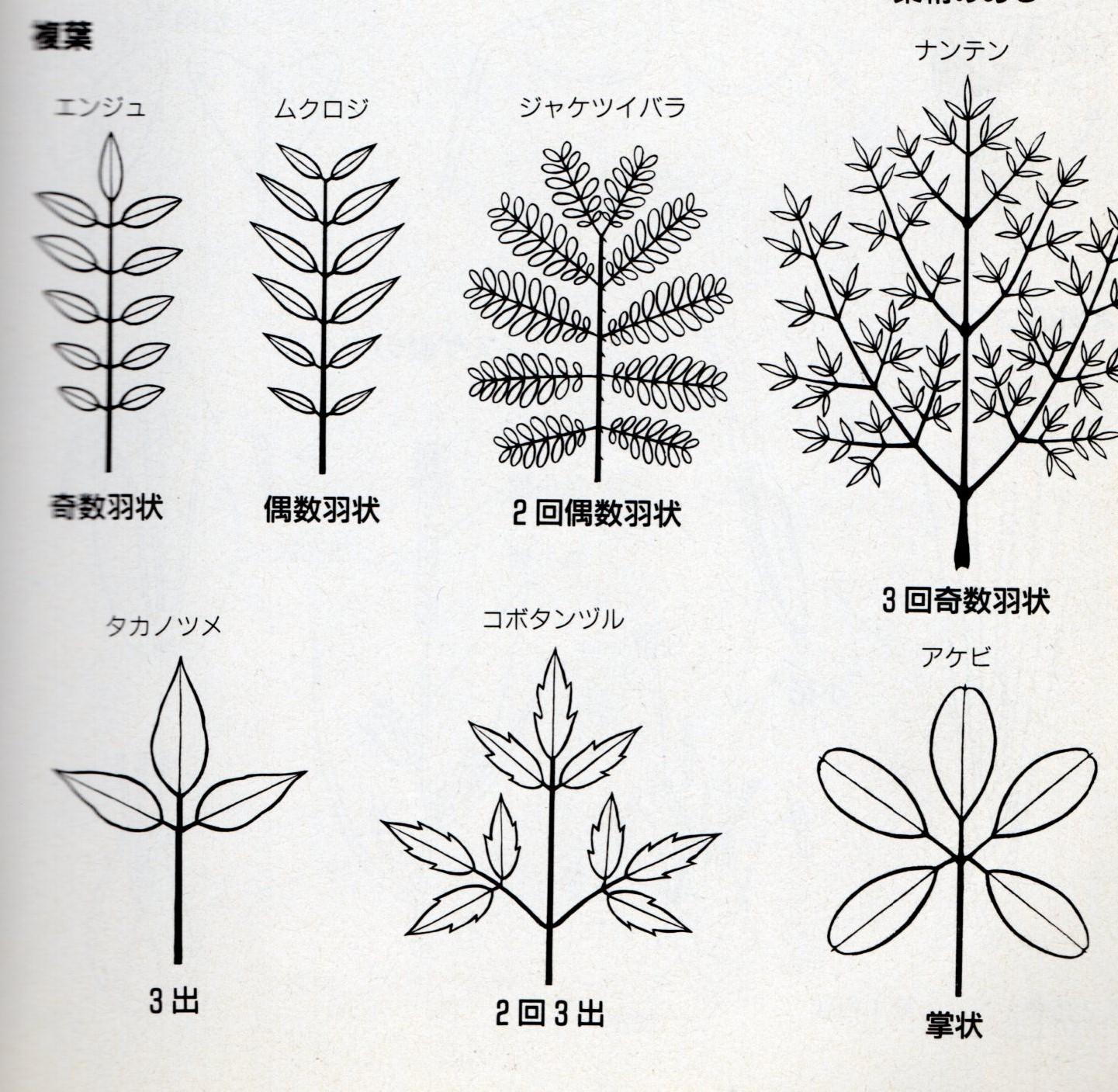葉の付き方008