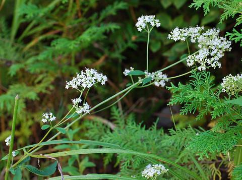 フジバカマの白い花