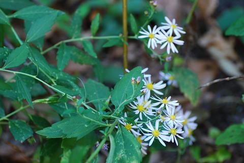 ノコンギクの花と葉