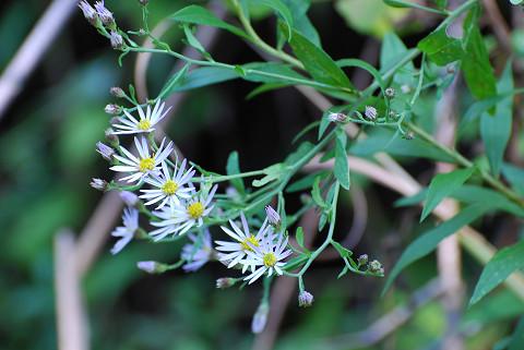 ホソバノコンギクの花と葉