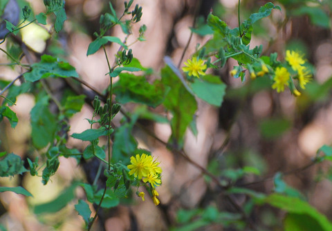 ヤクシソウの黄色い花